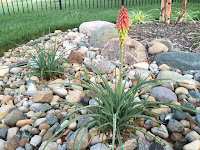 Kniphofia hirsuta 'Fire Dance' - Dwarf Hot Poker Plant
