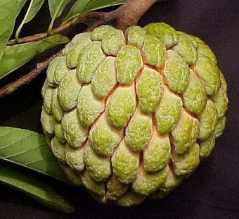 Ready to Control Diabetes Annona Squamosa