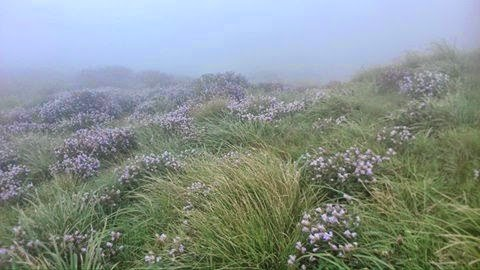 photos of neelakurinji flower from munnar
