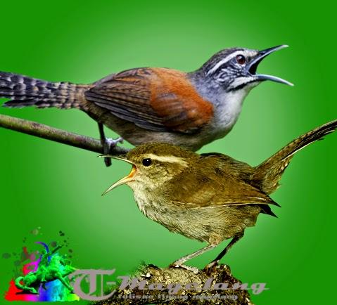 Suara burung bay wren dan bewicks wren untuk memaster