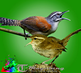 Lagi,dengarkan suara burung 5 jenis burung wren