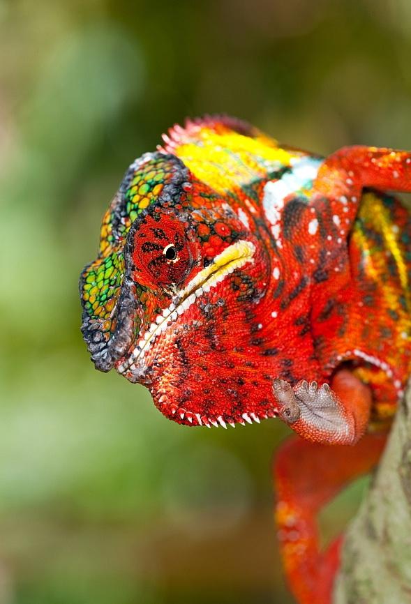 Alam Mengembang Jadi Guru: Beauty of Colourfull Lizards