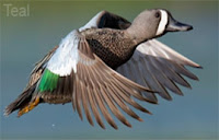 Teal bird