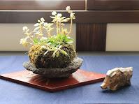 ノギクの綿毛が連なった冬の草物盆栽