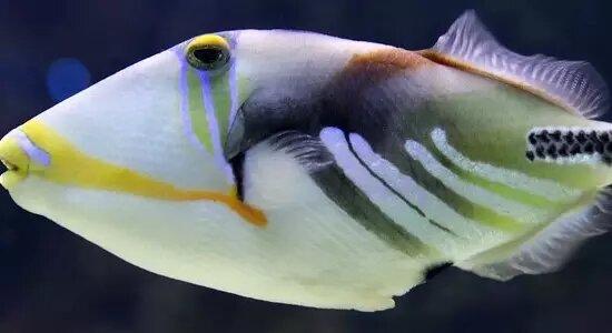 trigger fish fact