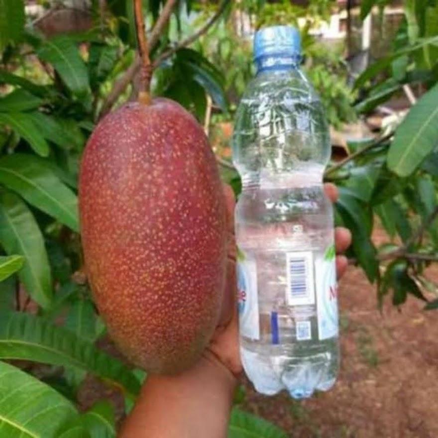 bibit mangga yuwen seri 6 super manis AGRO WISATANI Banda Aceh
