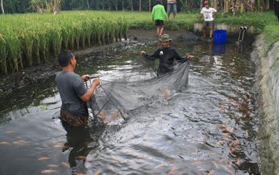 pemanenan mina padi
