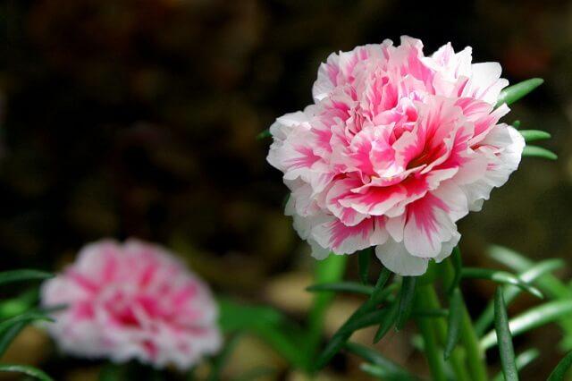hoa xin lỗi: cẩm chướng