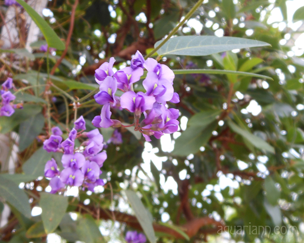 Purple Coral-Pea Photo by Aquariann