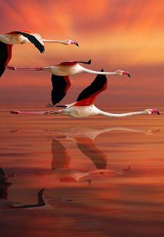 Os flamingos são aves pernaltas, que medem entre 90 e 150 cm de altura e possuem bico encurvado. A sua plumagem pode ser bastante colorida em tons de rosa, indo tom suave ao bem avermelhado. São animais que se alimentam de algas e pequenos crustáceos.