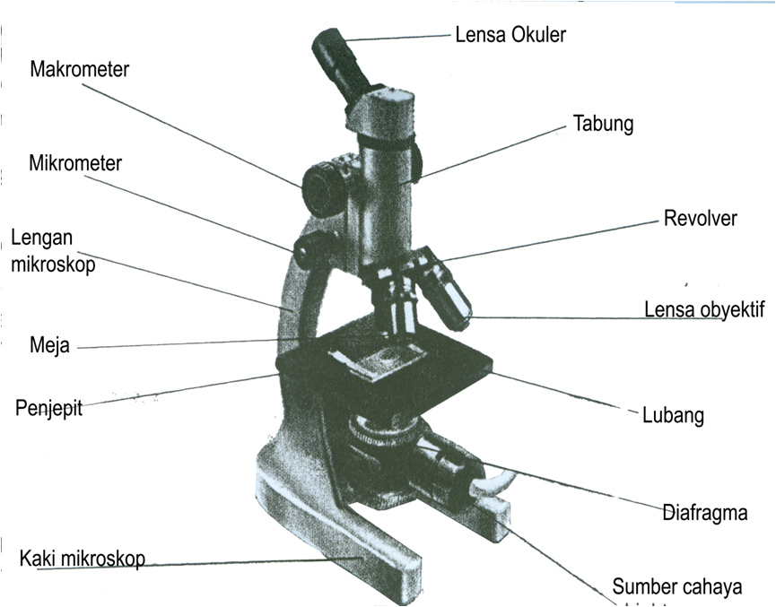 Experience blog coarse focusmacrometer focuses the image under low power body tubetabung connect the eyepiece to the revolving nose piece ccuart Image collections