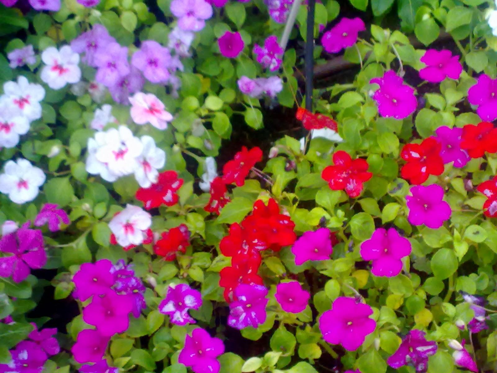 Flores para primavera y verano - Planta alegria de la casa ...