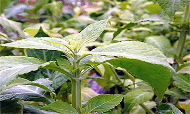 Salvia (Salvia officinalis L.)