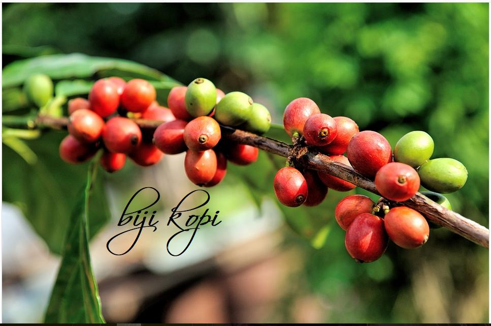 dampak perubahan iklim pada tanaman kopi kopi nikmat dampak perubahan iklim pada tanaman