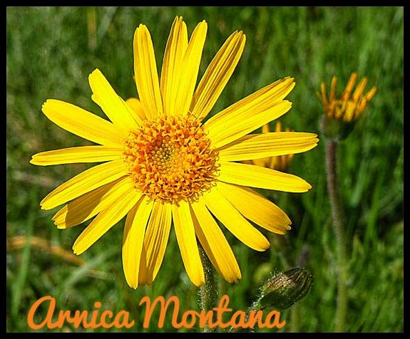 Arnica arnica montana fitoterapia prodotti naturali