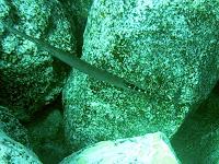 Ostatlantischer Trompetenfisch