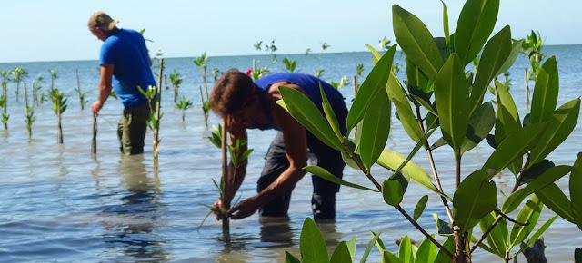 Los manglares están presentes en el 70% de las costas cubanas. Las comunidades del litoral participan en una iniciativa para regenerarlos.PNUD Cuba