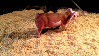 Hereford Pig Pictures, Pros and Cons, Origin, Characteristics
