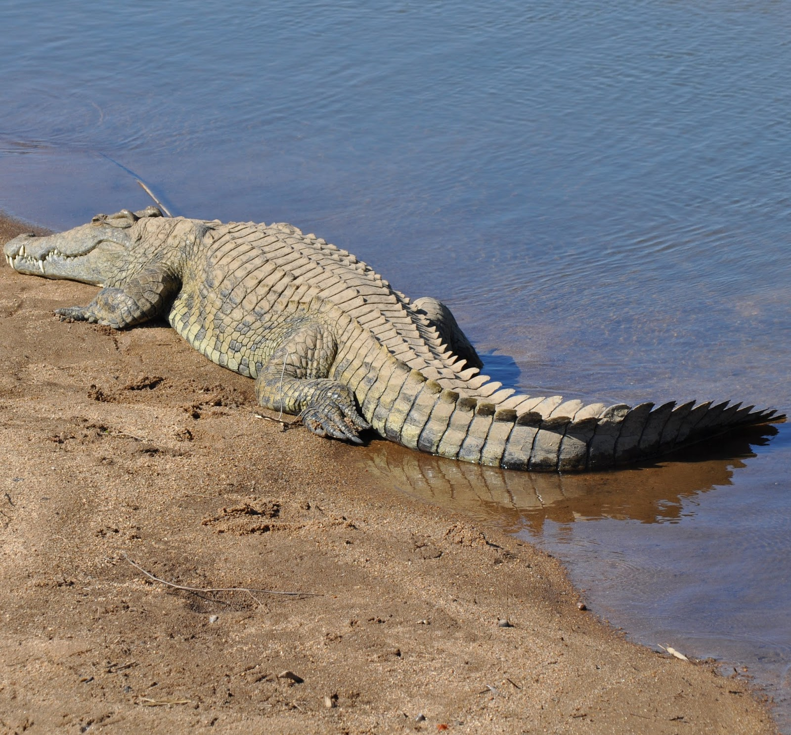 A crocodile near a lake.