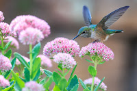 A multicolored hummingbird perched on pink fuzzy flowers with green stems.