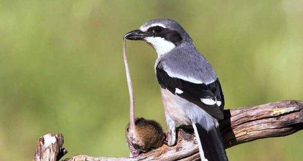 perawatan burung cendet