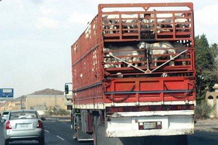 الدار البيضاء.. الشرطة تحقق في عملية سرقة شاحنة محملة بالأغنام