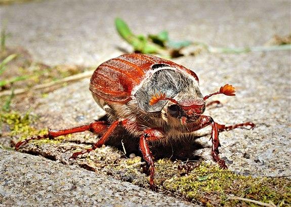 Mayıs böceği - M Hayvan İsimleri