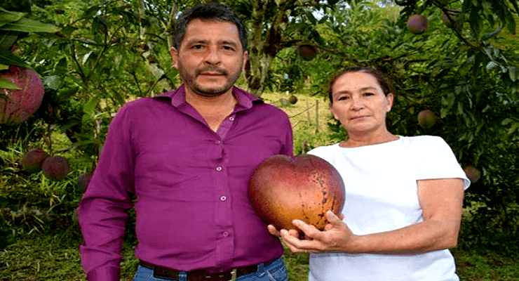 World's Most Heaviest Mango- Found in Colombia
