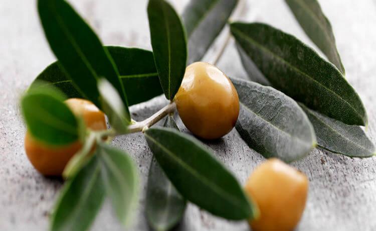 Os benefícios medicinais do extrato de folhas de oliveira