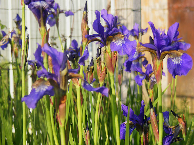 Iris sibirica. Photographed by Susan from Loire Valley Time Travel. https://tourtheloire.com