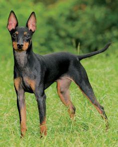 Manchester Terriers fueron criados para cazar ratas en Manchester, Inglaterra (por supuesto!). Tienen una personalidad muy típico de los terrier; Alerta, inteligente, alegre, activa y leal.