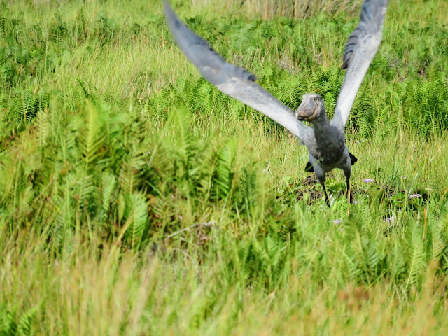 Shoebill flying over Uganda's Mabamba Swamp
