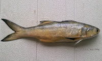 East Asian Fourfinger   Threadfin