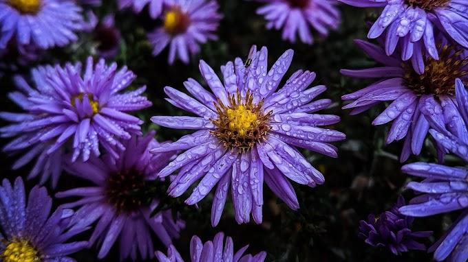 Flores, Orvalho, Gotas, Flor, Violeta