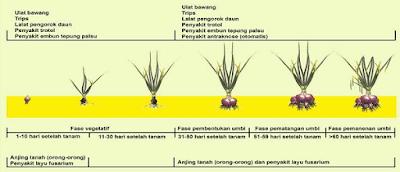 fase pertumbuhan bawang merah www.simplenews.me