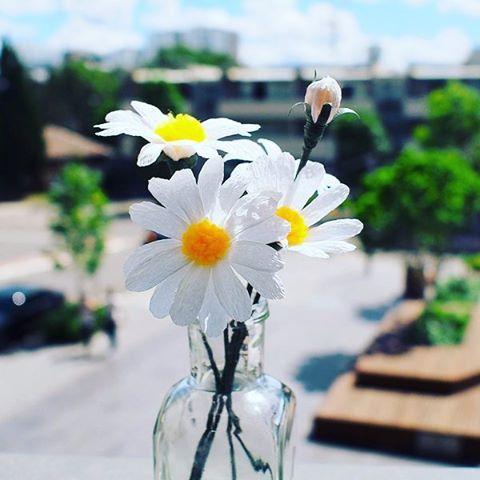 Hình ảnh hoa cúc họa mi đẹp dịu dàng vào ngày đầu đông ...
