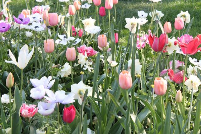 Tulppaanit toukokuu