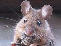 Cara Mudah & Praktis Menghilangkan Kencing Tikus di Kasur dan Sofa