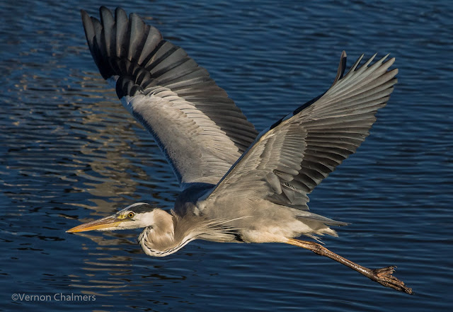 Grey Heron in Flight Woodbridge Island, Milnerton - Canon EOS 700D Vernon Chalmers Image Source Canon EOS 700D