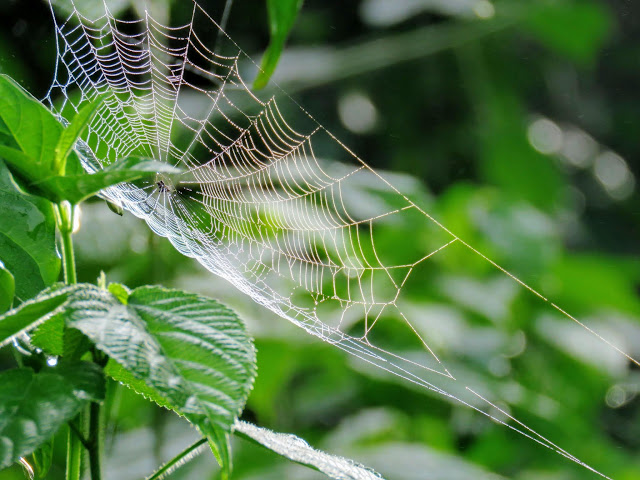 Spiderweb near Bigodi Wetlands in Uganda
