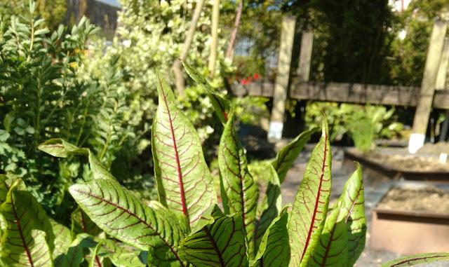 Kräuter im Frühling: Wissenswertes zu Sauerampfer und ein Rezept für Sauerampfersuppe