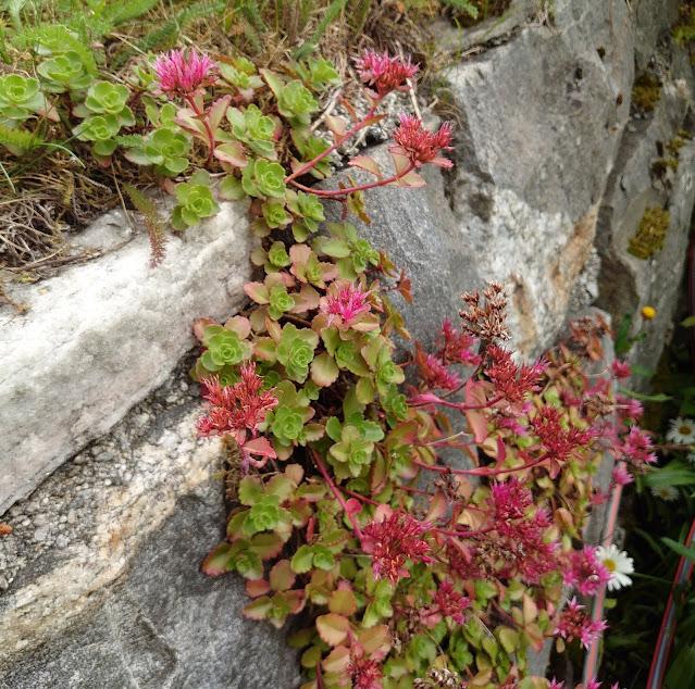 Sedum spurium på mur