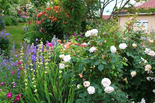 Roses du jardin ch neland rosier boule de neige - Boule de neige plante ...
