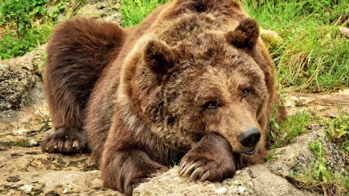 Medve kószál a Nyugat-Börzsönyben