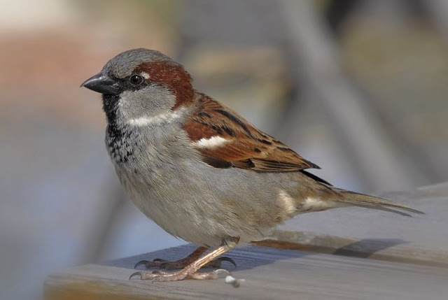House sparrow decline linked to air pollution and poor diet