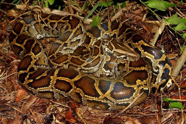Gambar fauna ular sanca bodo