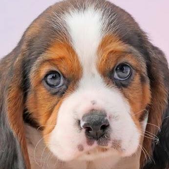 Beaglier (Beagle Cavalier King Charles Spaniel mix) Temperament, Size, Adoption, Lifespan