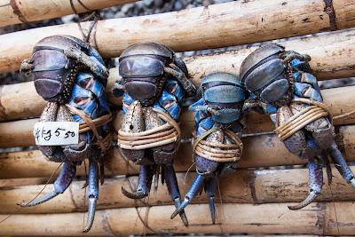 endangered crab