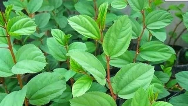tanaman bidara arab