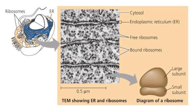 Gambar ribosom dan keterangannya